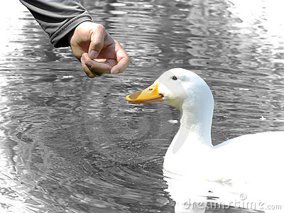 Man and duck friendship