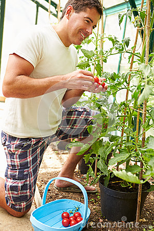 Man Harvesting Home Grown Tomatoes In Greenhouse