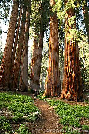 Free Man Hiking On Trail Next To Redwood Grove Stock Photos - 7769913