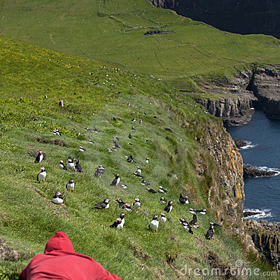 Man observing Atlantic Puffin