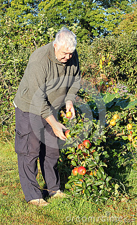 Man picking apples in an orchard.