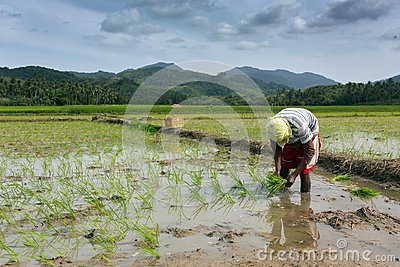 Man planting rice Editorial Photography