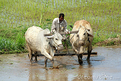 Man plowing the field Editorial Stock Image