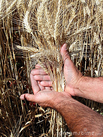 Man s hands holding wheat ears