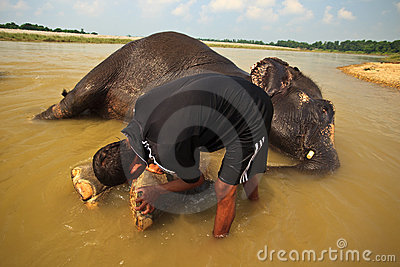 Man Scrubbing Elephant s Feet in River in Nepal Editorial Photography