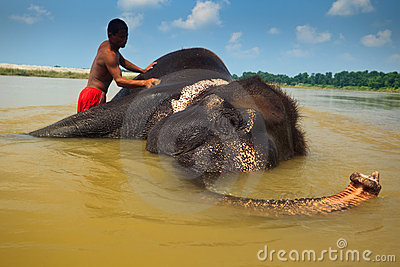 Man Scrubbs Asian Elephant Laying in Nepal River Editorial Photography