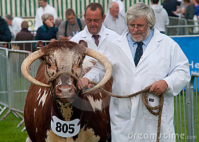 Man showing a Longhorn Bull Editorial Image