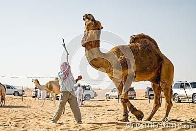 Man training camel Editorial Stock Photo