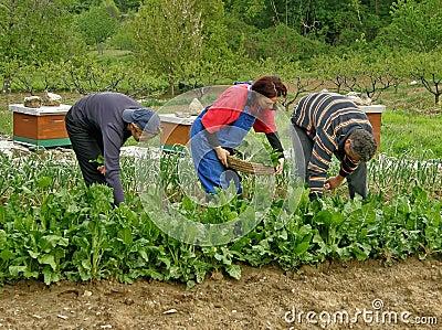 Man and two women picking chard