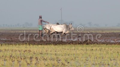 Man works at the rice field in Jessore, Bangladesh. JESSORE, BANGLADESH – FEBRUARY 19, 2014: Unidentified man works at the rice field on February 19 stock footage