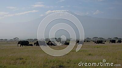 Manada de elefantes africanos en el llano con el fondo de los acacias del monte Kilimanjaro almacen de metraje de vídeo