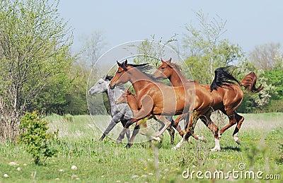 Manada de los caballos árabes que se ejecutan en pasto