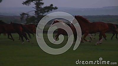 Manada del funcionamiento de los caballos almacen de video