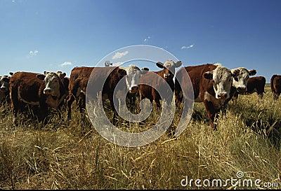 Manada del ganado del rango