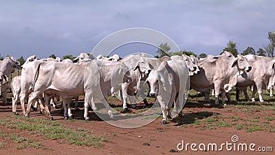 Manada del ganado que pasta en una granja en el interior Australia almacen de video