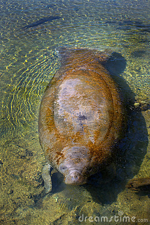 Manatee Surfacing - Homosassa Springs