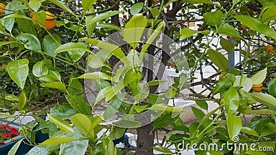 Mandarin boom met vruchten in Mediterraan klimaat, organisch gezond voedsel stock footage