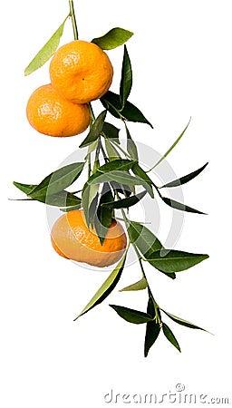 Free Mandarin Branch Stock Image - 3570321