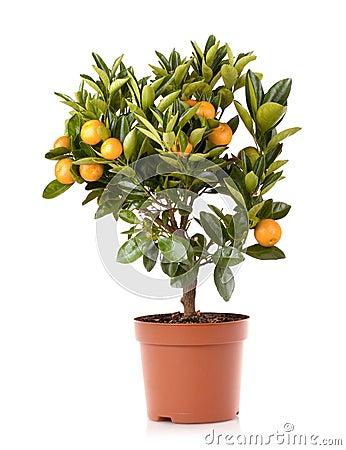 Mandarin citrus plant