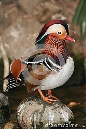Free Mandarin Duck Stock Image - 10612851