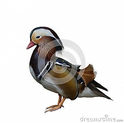 Free Mandarin Duck Royalty Free Stock Images - 29530709