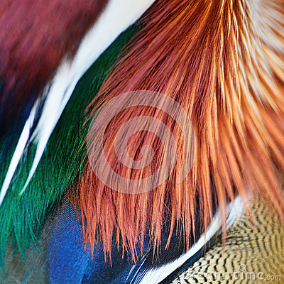 Free Mandarin Duck Feathers Royalty Free Stock Images - 47716059