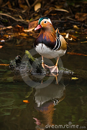 Mandarin duck with reflection in water
