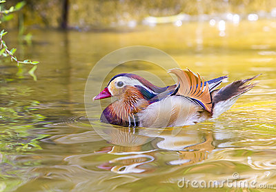 Mandarin duck swiming