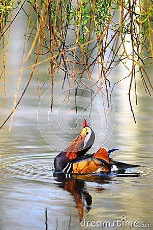 Mandarin Duck on water