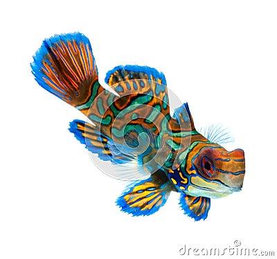 Free Mandarin Fish Isolated On White Background Royalty Free Stock Photos - 22287078