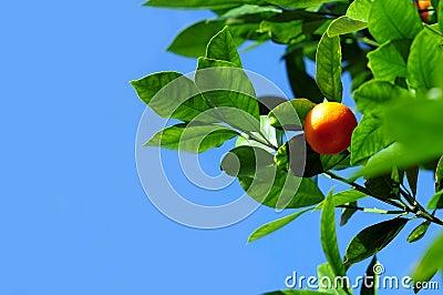 Mandarine Fruit