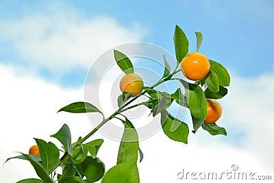 Mandarins on tree branch against blue cloudy sky