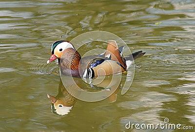 Mandarynka kaczki
