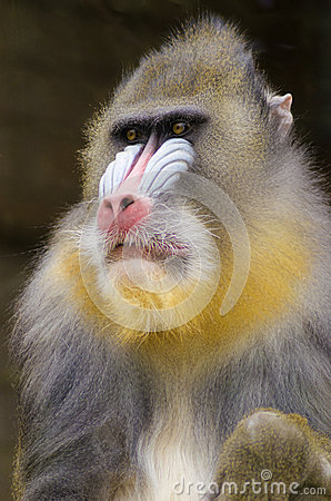 Free Mandrill Royalty Free Stock Photography - 37946167