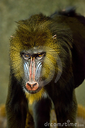 Mandrill Ape Monkey, Primate Baboon Animal