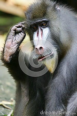 Mandrill Baboon