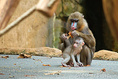 Mandrill baby with its parent