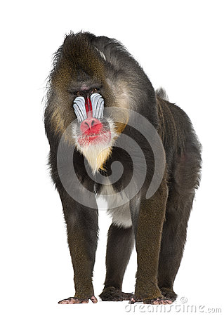 Free Mandrill, Mandrillus Sphinx, 22 Years Old Royalty Free Stock Photography - 27269377