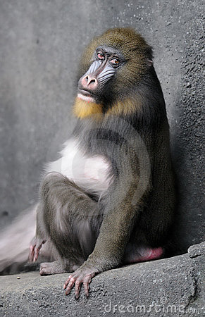 Mandrill rolls its eyes