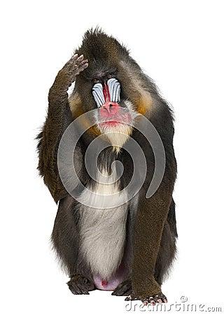 Free Mandrill Scratching Head, Mandrillus Sphinx Royalty Free Stock Image - 27269386