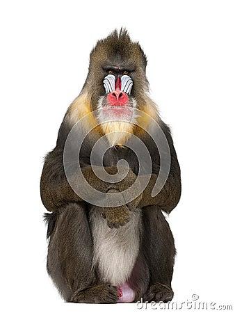 Free Mandrill Sitting, Mandrillus Sphinx Stock Images - 27269434