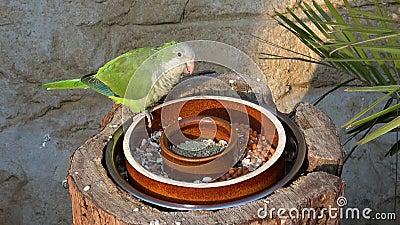 Mangiare il pappagallo verde myiopsitta monachus video d archivio