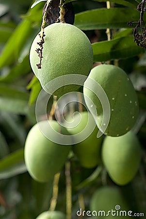 Free Mango Tree Royalty Free Stock Photo - 16965625