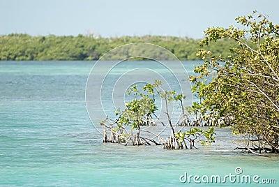 Mangrove, Caye Caulker, Belize