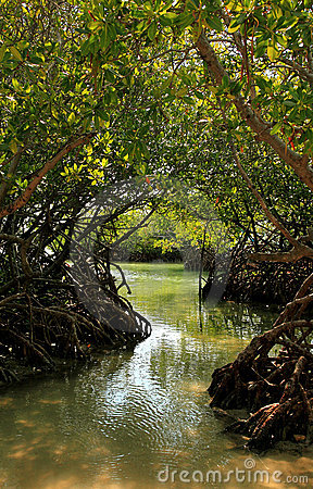 Free Mangrove Forest Stock Photos - 16172683
