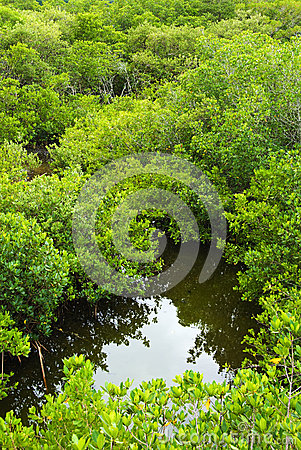 Free Mangrove Forest From Above Stock Photos - 29254053
