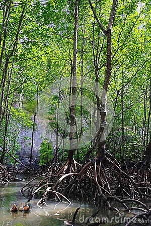 Free Mangrove Forest Or Ecosystem Stock Photography - 116172332