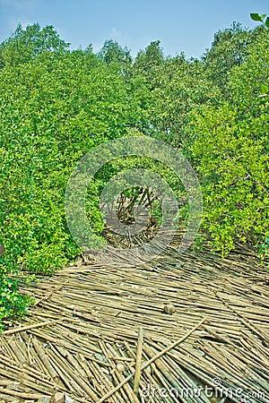 Mangrove forest, Thailand