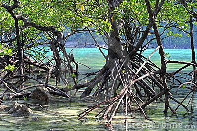 Mangrove root.