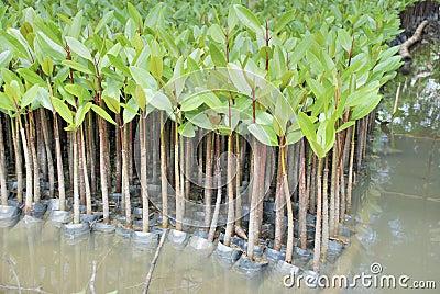 Mangrove seedling in plastic bag